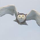Snowy Owl by scullyb