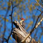 Pride Rock Woodpecker by Hayley R. Howard