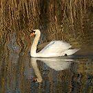 Swan in abstract Waters by Barbara Gerstner