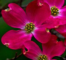 2014 April Red Dogwood No 2 by Rick  Grisolano Photography LLC