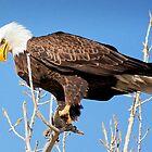 American Bald Eagle Looking for Dinner by Stevej46