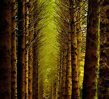 Avenue of Norway Spruce - Breenhold, Mt Wilson by Gabrielle  Lees