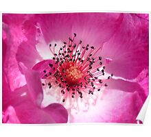 Deep Inside a Crimson-Coloured Rose Poster