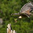 Hawk Leaving Dead Tree by imagetj
