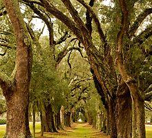 Avenue of Oaks by dbvirago