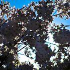 Cherry Blossom by Gustavo Bernal