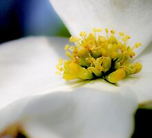 Dogwood Close Up by Kathleen Horner