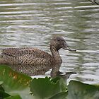 Freckled Duck - Ballarat by mosaicavenues