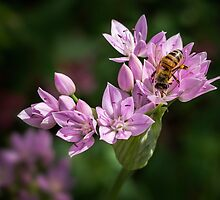 Bee sipping nectar from a wild onion flower by Celeste Mookherjee