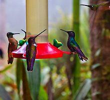 Five More Mindo Hummingbirds by Al Bourassa