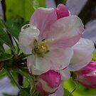 Apple Blossom by DIANE  FIFIELD