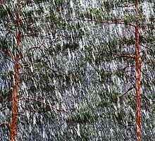 1.5.2014: Sleet and Pine Trees by Petri Volanen