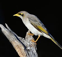 Yellow Throated Miner taken at the Arid Lands_Port Augusta by Alwyn Simple