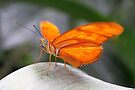 Close-up Julia Butterfly - Dryas iulia by Lepidoptera