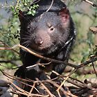Tasmanian Devil by gaylene