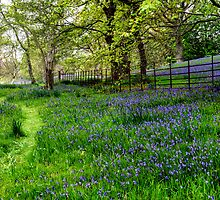 Bluebell Way by Adrian Evans