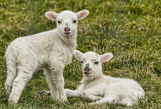 Spring Lambs by M.S. Photography & Art