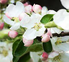 Spring tree flowers blosom by JustaN