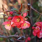Quince Blossoms by Linda  Makiej Photography