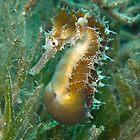 Seahorse Belly by Valerija S.  Vlasov