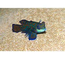 Single Mandarinfish Photographic Print