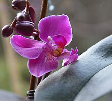 The Purple Orchid by walstraasart