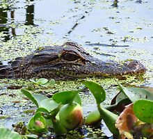 Young gator  by JSchettino22