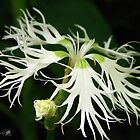 Dianthus Superbus - White by JMcCombie