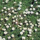 Wild Daisies by Margaret Stevens