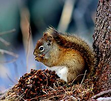 American Red Squirrel by Kathleen M. Daley
