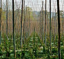 Hop Garden (1) by Hayley Musson