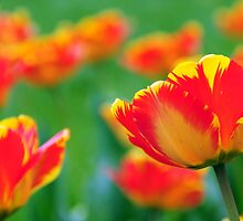 TULIPS by PIMPINELLA
