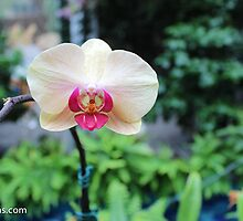 Orchid from Washington DC by 2Canons