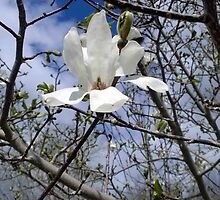 White Magnolia by Linda  Makiej Photography