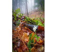 Misty Hepatica (Anemone hepatica) Photographic Print