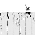 wren on a fence by Clare Colins