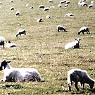 Sheep Grazing in Scotland by AngieDavies