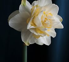 Butter and Eggs Daffodil  by BonnieJames