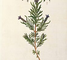 French Lavender by Bridgeman Art Library