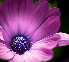 Daisy in Lavender by OzPhoto
