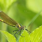 """ The Banded Demoiselle "" by Richard Couchman"