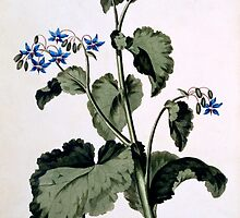 Borage with Blue Flowers by Bridgeman Art Library