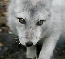 Arctic Fox by AnnDixon