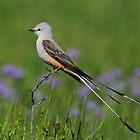 Scissor-tailed Flycatcher by photosbyjoe