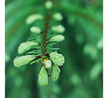 wet fir Photographic Print