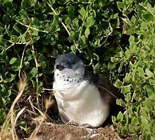 Little Penguin, Phillip Island by Reneefroggy