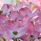 Glorious Spring Dogwood by AngieDavies