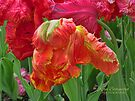 Parrot Tulip by © Kira Bodensted