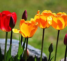 Tulips in the Light by Gilda Axelrod