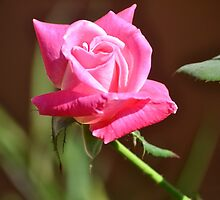 MAY'S PINK ROSE OPEN FOR MOTHER'S DAY by JAYMILO